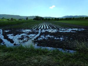 Plantation osier